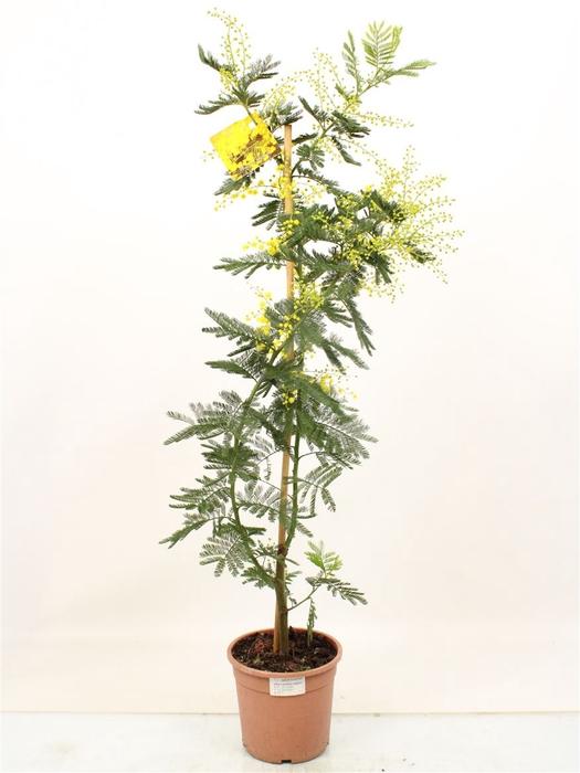 <h4>Acacia Mimosa Daelbata Stick</h4>