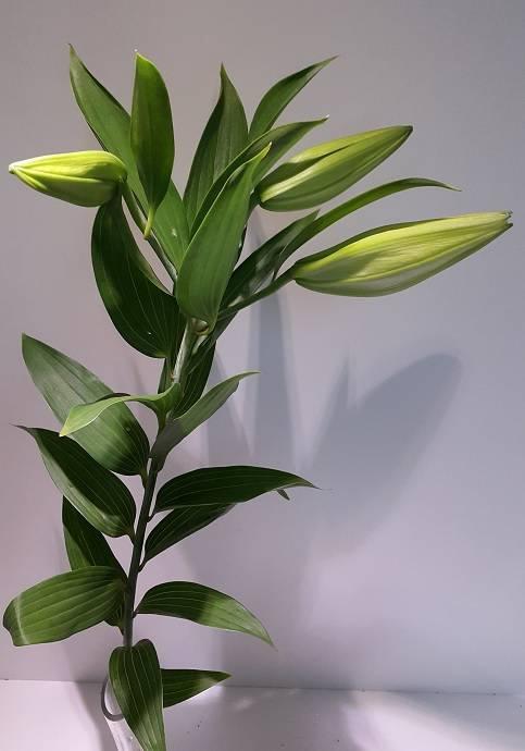 Lilium Oriental White 3/5 buds