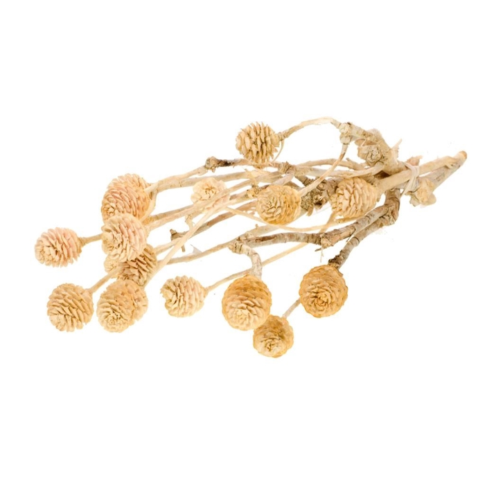 <h4>DRIED FLOWERS - MUIRII BRANCH BLEACHED WH</h4>