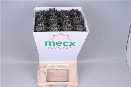 <h4>Echeveria Purpurea (mecx Flowers)</h4>
