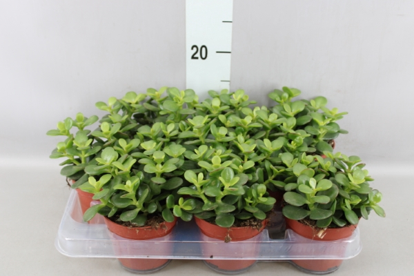 <h4>Crassula ovata 'Minor'</h4>