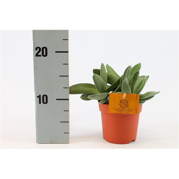 <h4>Rochea falcata 10,5 cm</h4>