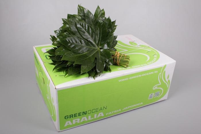 <h4>Aralia Green Ocean</h4>