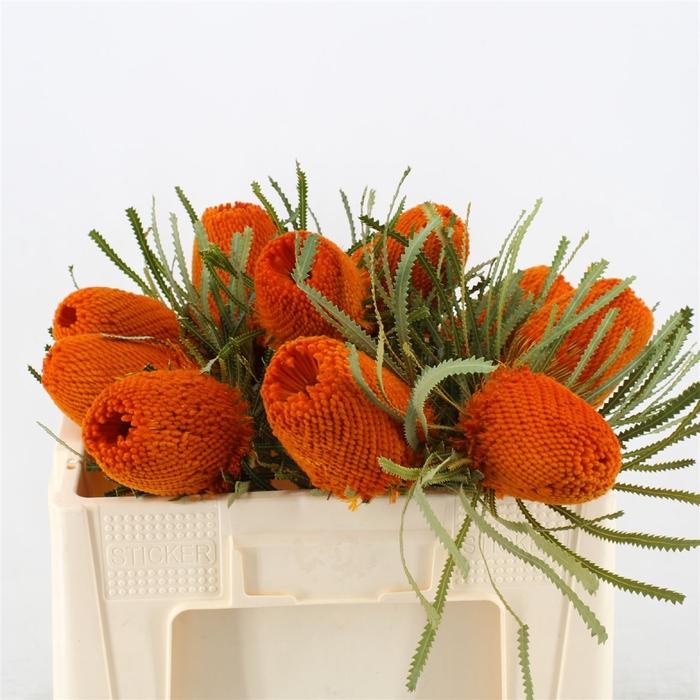 <h4>Banksia Hookeriana Orange</h4>