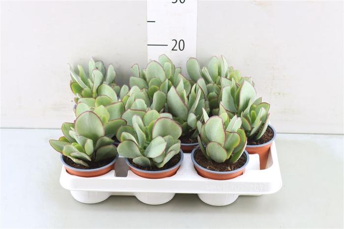 <h4>Crass Arborescens</h4>