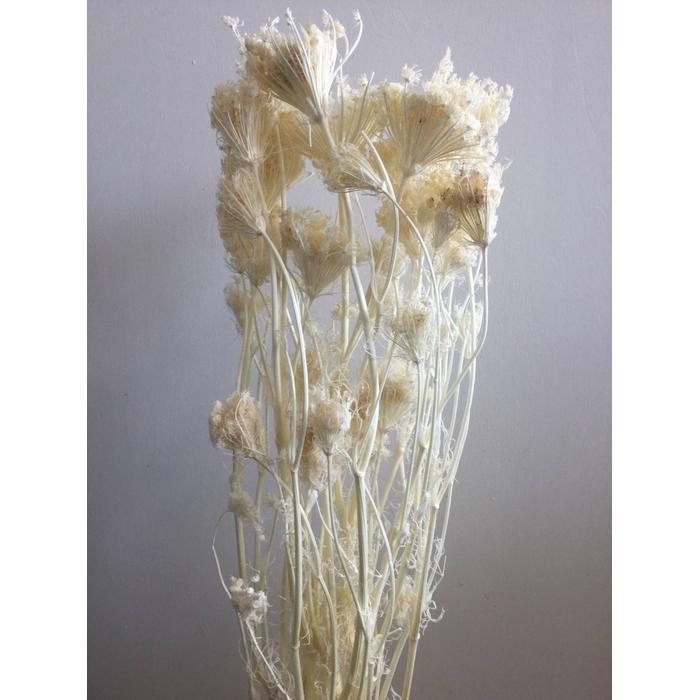 <h4>DRIED FLOWERS - FINOCCHIO VENKEL BLEACHED 100GR</h4>