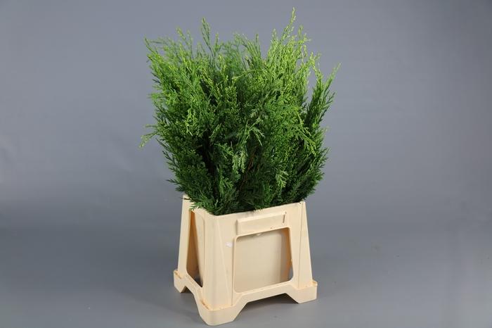 <h4>Coniferen White Spot BQ</h4>