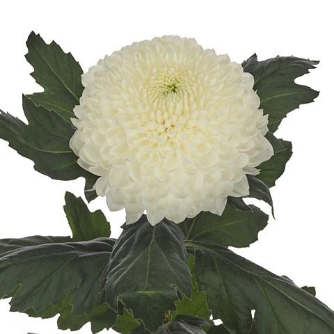 <h4>Chrysanthemum monoflor Evidence</h4>