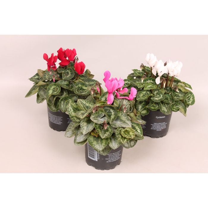<h4>Cyclamen Super Serie® Carino Mix</h4>