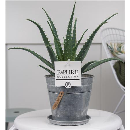 <h4>Aloe Arborescens Zink Louise</h4>