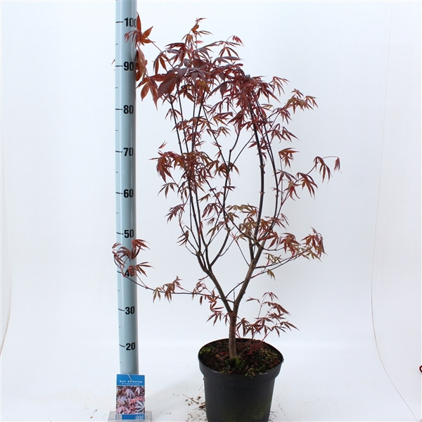 <h4>Acer palmatum 'Atropurpureum'</h4>
