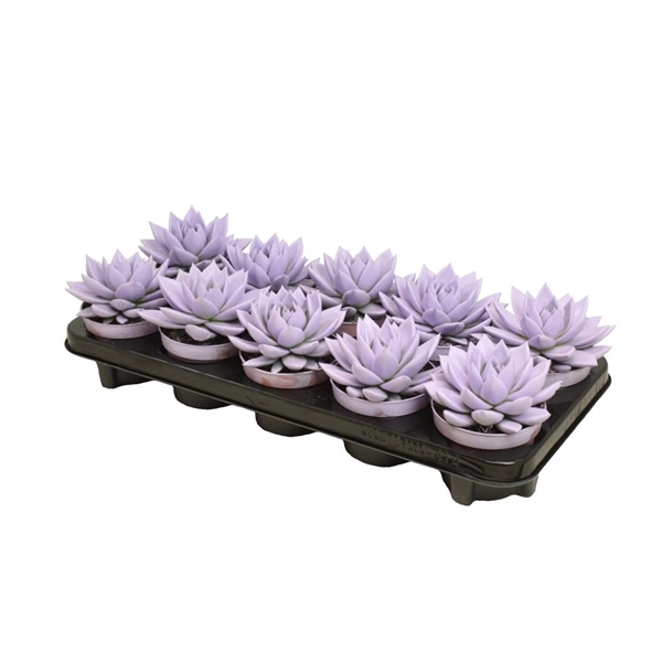 <h4>Echeveria coloured pastel purple</h4>