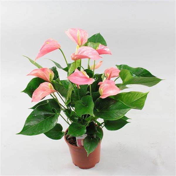 <h4>Anthurium Pink Explosion</h4>