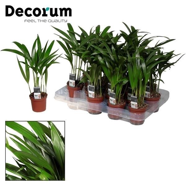 <h4>Dypsis lutescens (Areca) 7 cm (Decorum)</h4>