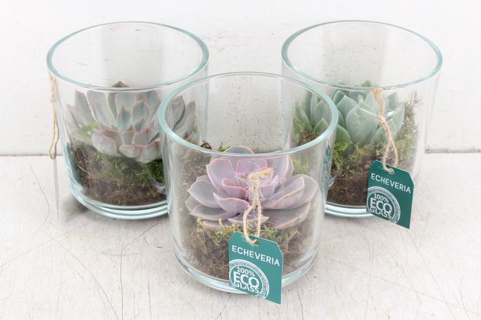 <h4>pl. AM 144 - Echeveria saro glass</h4>