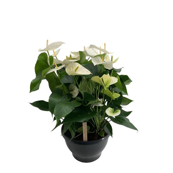 <h4>Anthurium schaal Samora</h4>