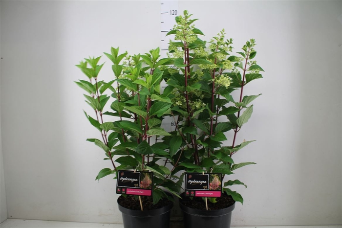 <h4>Hydrangea Paniculata 4+</h4>