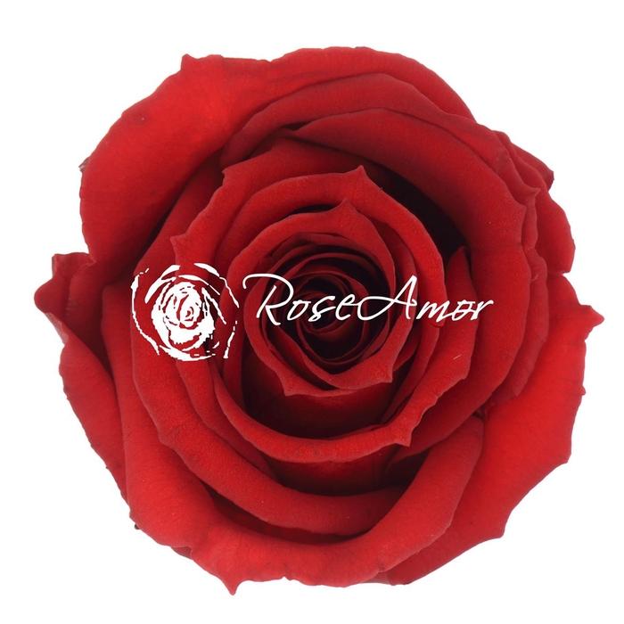 <h4>PRESERVED ROSA MINI WARMI RED 01</h4>