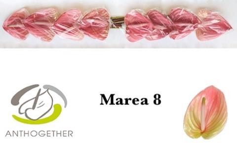 <h4>Anthurium andr. 'Marea'</h4>