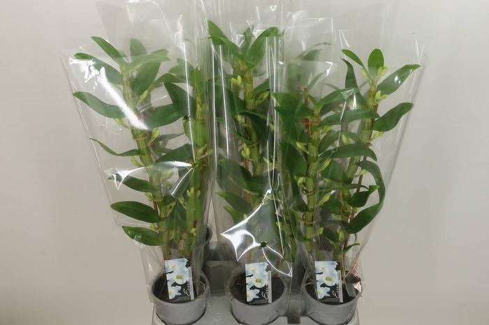 <h4>Dendrobium N Sc Apollon 2-tak</h4>