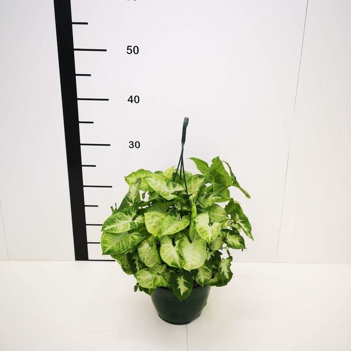<h4>Syngonium podophyllum colgar</h4>
