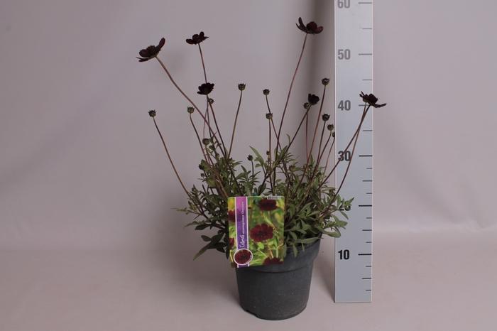 vaste planten 19 cm  Cosmos Astrosanguineur