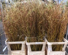 <h4>Salix Golden Curls</h4>