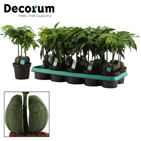 <h4>Castanospermum Australe Castano's 12 Cm (decorum)</h4>