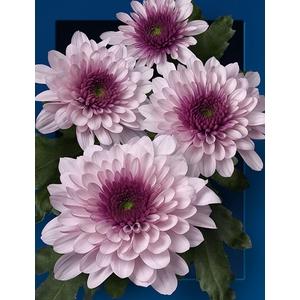 Chrysanthemum spray podolsk rosa