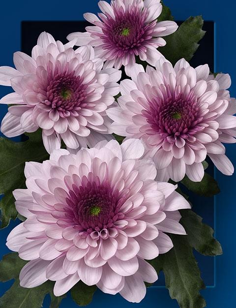 <h4>Chrysanthemum spray podolsk rosa</h4>