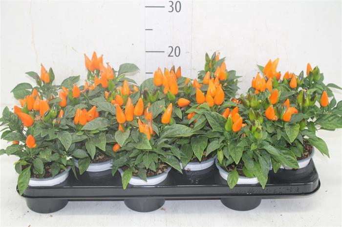 <h4>Capsicum Sombrero Orange</h4>