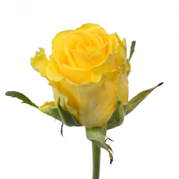 <h4>Rose Penny Lane</h4>