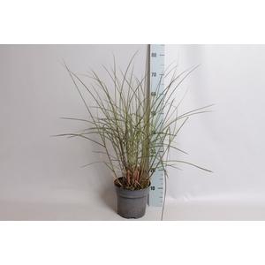 vaste planten 19 cm  Miscanthus Kleine Fontaine