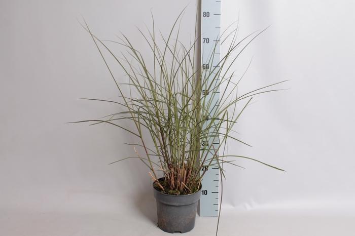 <h4>vaste planten 19 cm  Miscanthus Kleine Fontaine</h4>