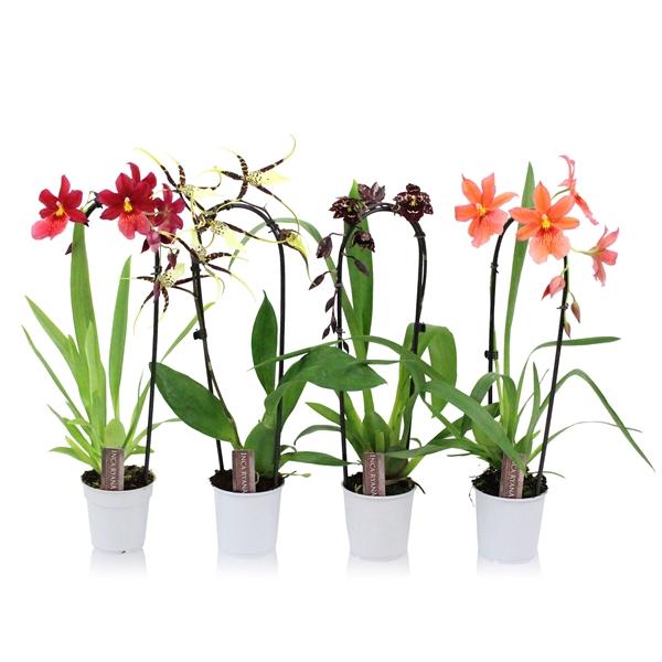<h4>Orchideeen Inca mix 1T Cascade</h4>