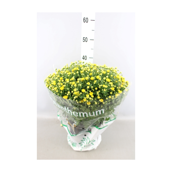 <h4>Chrysanthemum  'Jasoda dk Yellow'</h4>