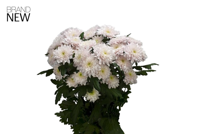 <h4>Chrys. tros Pastela Rose</h4>