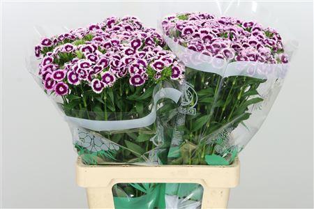 <h4>Di Barb Bicolor Purple - White</h4>