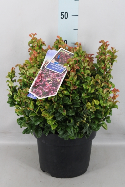<h4>Leucothoe axillaris 'Curly Red'</h4>