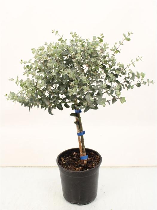 <h4>Eucalyptus Gunnii Stem</h4>