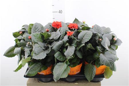 <h4>Dahlia Temp Orange</h4>