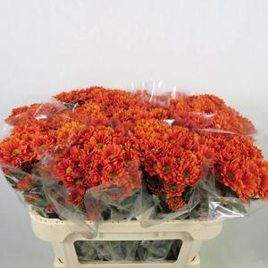 Chrysanthemum spray bacardi naranja