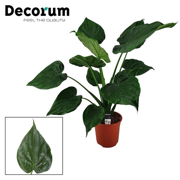 <h4>Alocasia Cucullata 27 cm</h4>