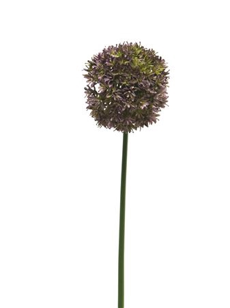 <h4>Allium Quinque 72cm aubergine</h4>
