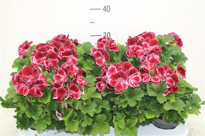 <h4>Pelargonium Don Flamingo</h4>