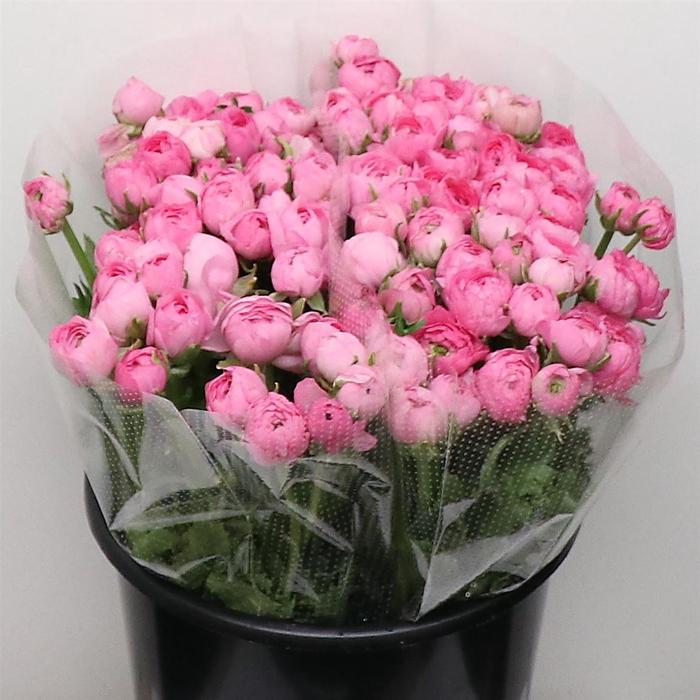 <h4>Ran El Pink Extra</h4>