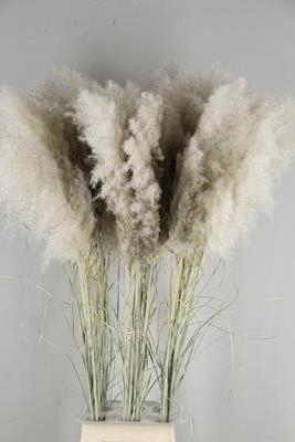 <h4>Df Pampas Dried  Hollands</h4>