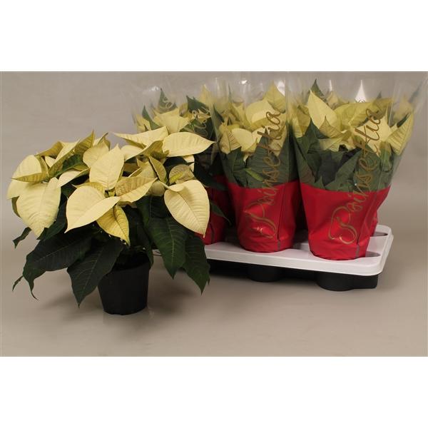 <h4>Poinsettia ''polar white''</h4>