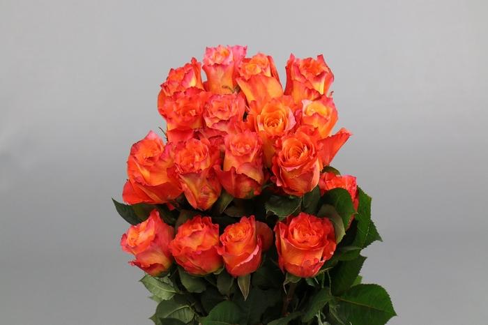 <h4>Rosa Ec Free Spirit</h4>