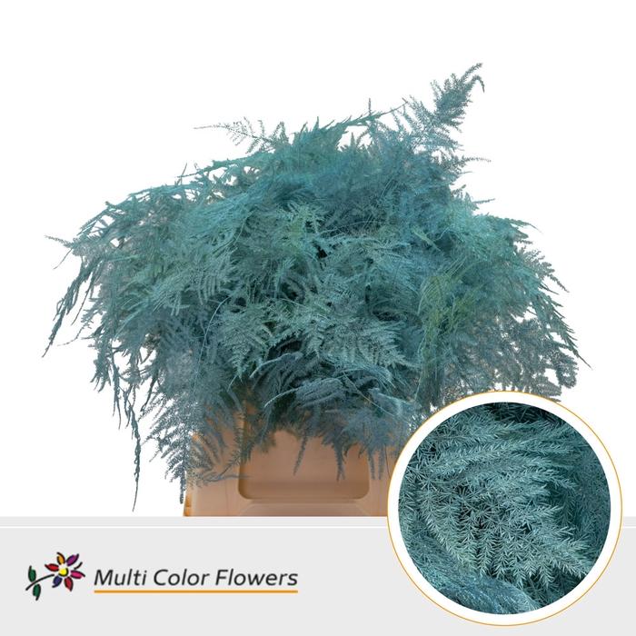 <h4>Asparagus 1e veren gekleurd Blue Ice</h4>